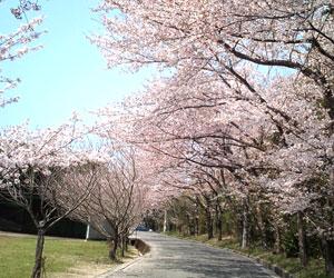 写真:なぎの里公園の桜並木