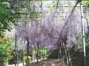 写真:みやまの里森林公園・藤棚ロード(2枚目)