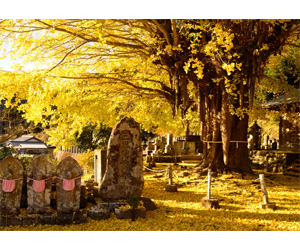 写真:光泉寺の大銀杏