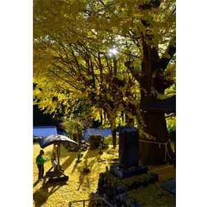 写真:光泉寺の大銀杏 (2枚目)