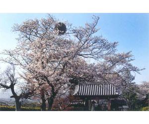 写真:宿り木