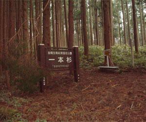 写真:一本杉