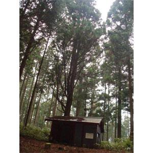 写真:一本杉 (2枚目)