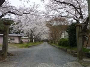 写真:三船神社の桜並木