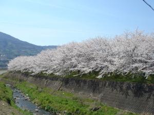 写真:中津川堤防の桜並木
