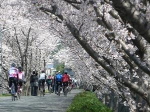 写真:中津川堤防の桜並木 (2枚目)
