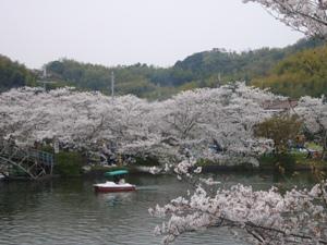 写真:大池遊園の桜