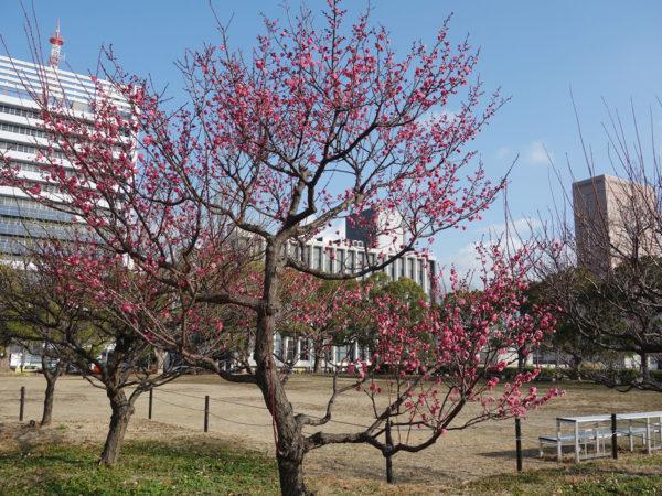 写真:和歌山城の紅梅