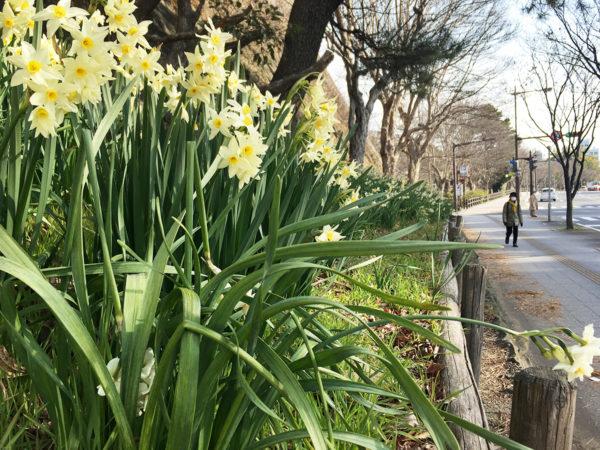 写真:和歌山城のスイセン