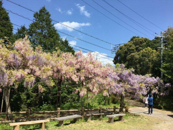 写真:日本一の藤棚ロードにあるピンク色の藤