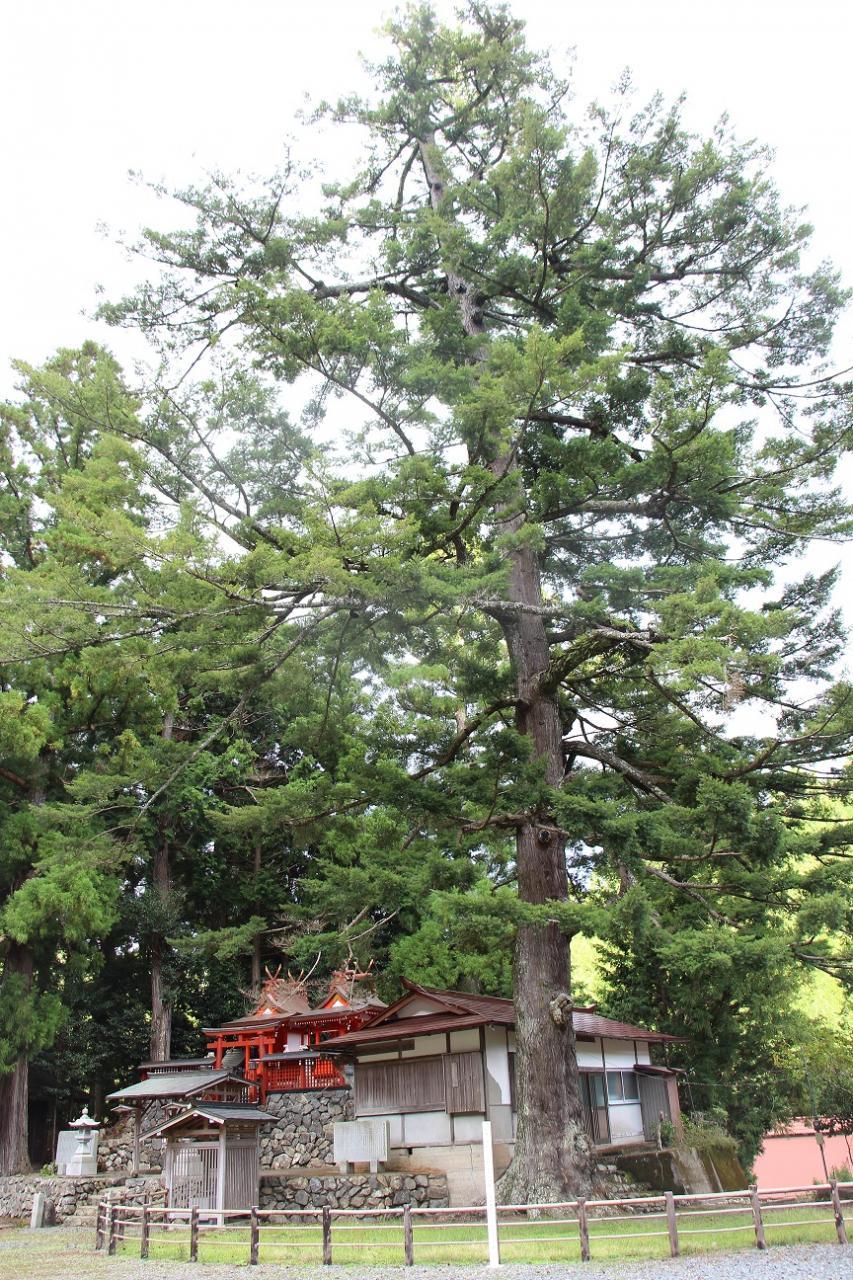 写真:丹生神社のトガサワラ(1枚目)