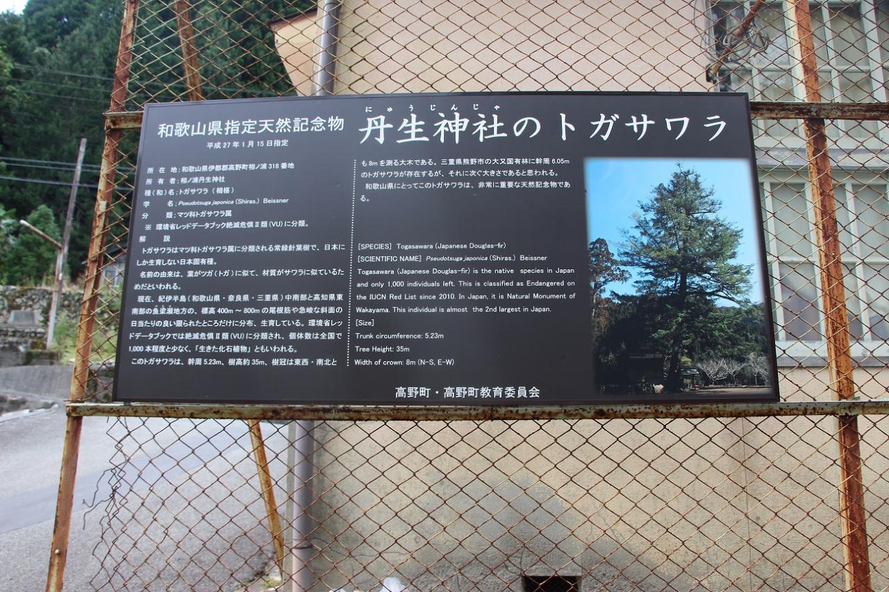 写真:丹生神社のトガサワラ(2枚目)